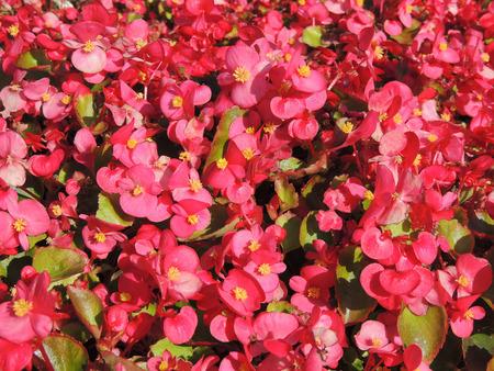 anthesis: Bright pink flower background. Floral flowerbed.