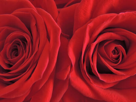 Bright luxury red roses close up. photo