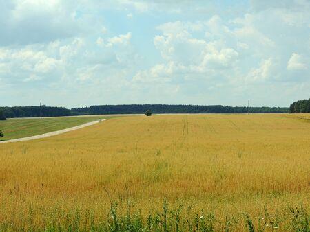 haver veld: Wit-Russische landschap. Rijpe gebied van de haver.