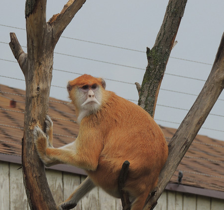 Hussar monkey. Hussar monkey sitting on a tree and stares. photo