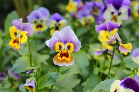 violets: Garden violets in the flower bed. Flowering pansies.
