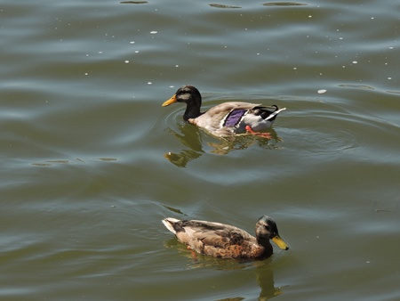 two ducks: Two ducks floating on the river water.