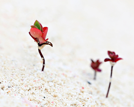 Tiny red succulent seedlings emerging from the sand on a beach near Tulum, Mexico. Stock Photo - 76296275