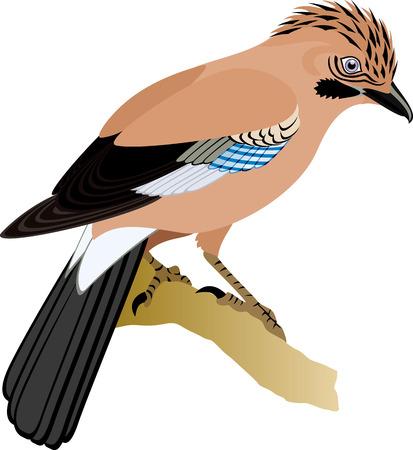 eurasian: vector Eurasian Jay Garrulus glandarius