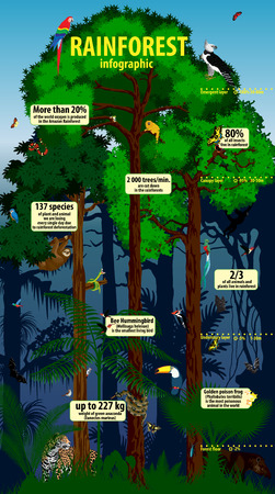 cougars: Rainforest infographic. Amazon Tropical Forest jungle with Trees and animals