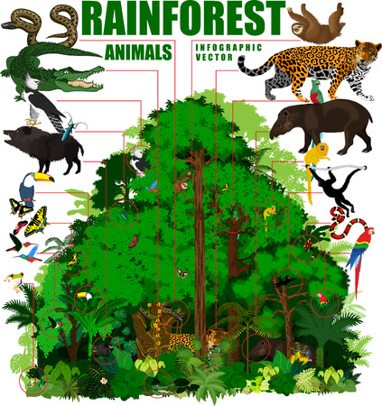 Rainforest illustration. Tropical Forest jungle infographic with Trees and animals