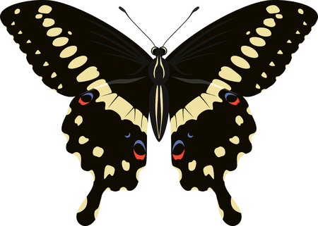swallowtail: Papilio lormieri butterfly (Central Emperor Swallowtail) illustration