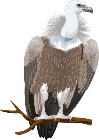 vertebrates: Griffon vulture