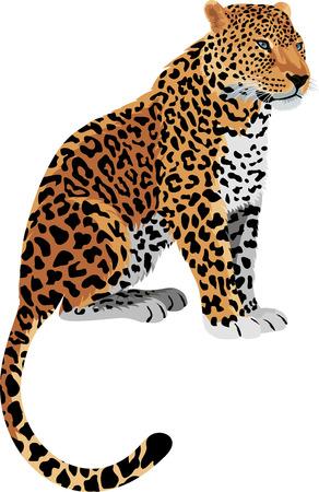 panthera pardus: Leopard Panthera pardus