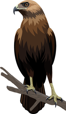 Eagle illustration Illustration