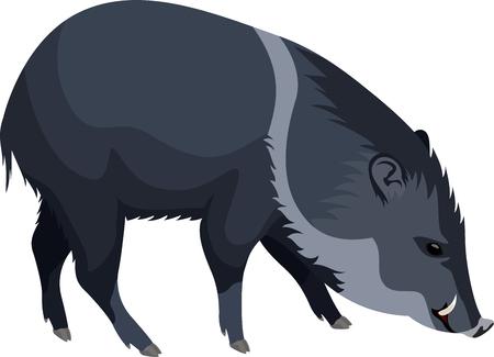 jabali: vector wild pig peccary
