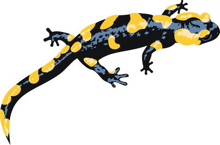 vector Europaean fire salamander (Salamandra salamandra)