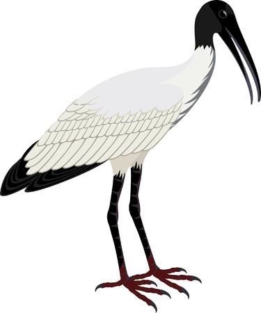 americana: vector Wood stork (Mycteria americana) Illustration
