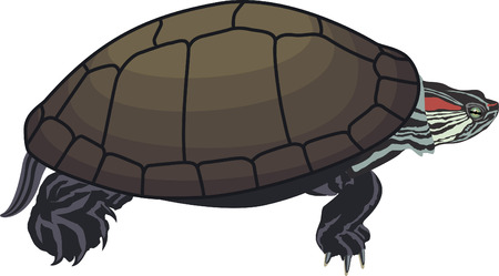 vector Red-eared slider turtle