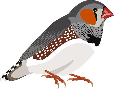 vector Zebravinken (Taeniopygia guttata)