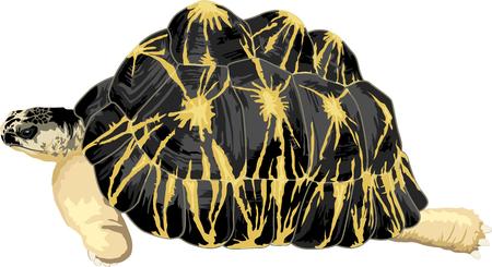 terrarium: vector radiated tortoise Illustration