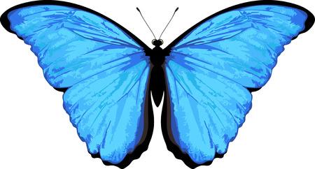 morpho: Vector butterfly isolated on white. Morpho rhetenor Illustration