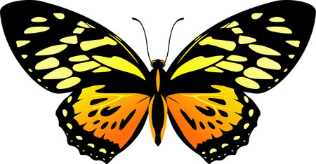 vector Balck and orange butterfly Papilio zagreus