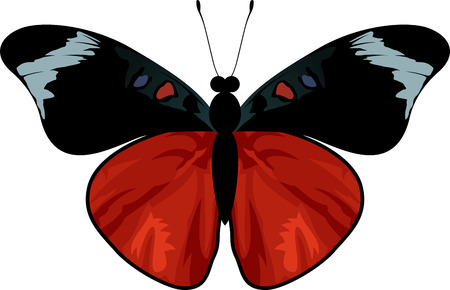 regina: vector Queen Flasher butterfly - panacea regina Illustration
