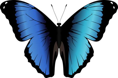 Vector peruvian Morpho butterfly Morpho deidamia