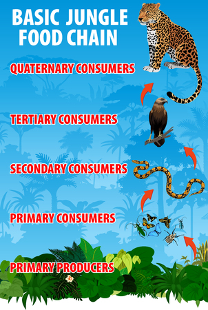 Basic jungle rianforest food trophic chain. Tropical ecosystem energy flow. Vector illustration.