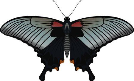 vector butterfly Great Mormon, Papilio memnon agenor
