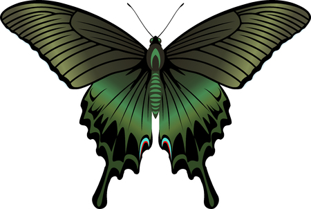 vector Alpine Black Swallowtail Butterfly (Papilio maackii, male)