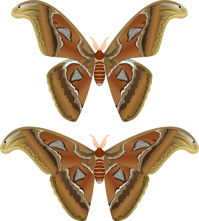 Beautiful big butterfly, Giant Atlas Moth, Attacus atlas - vector illustration
