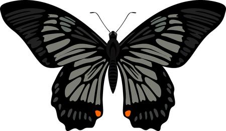 swallowtail butterfly: vector swallowtail butterfly Papilio veiovis.