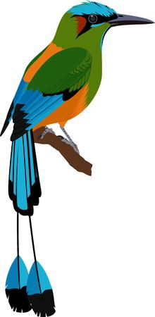 Turquoise browed Motmot vector