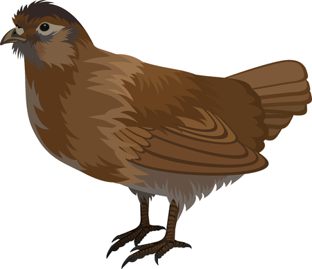 vector quail illustration