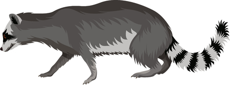 vector raccoon