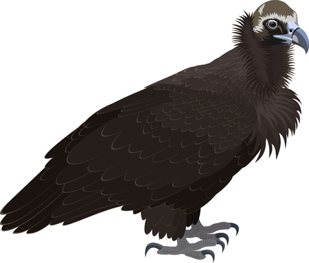 griffon: vector Cinereous vulture (Aegypius monachus), also known as the the Eurasian black vulture or monk vulture. Wildlife animal.