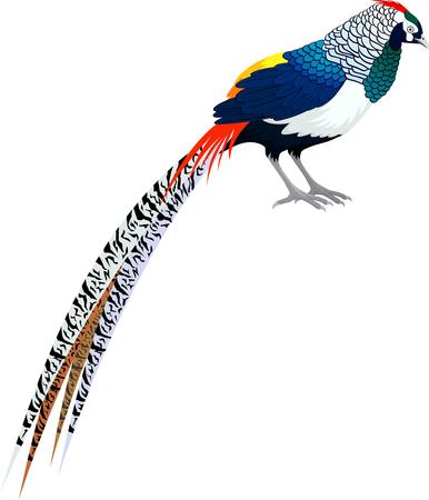 Vector diamond pheasant - (lady amhersts pheasant)