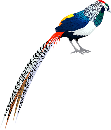 Vector diamond pheasant - (lady amhersts pheasant)