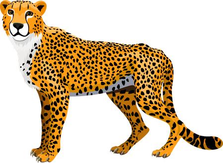 Vector african cheetah (Acinonyx jubatus) isolated