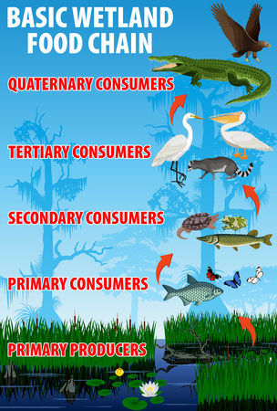 기본 습지 음식 영양 체인. 열대 습지대는 생태계의 에너지 흐름을 에워 쌉니다. 벡터 일러스트 레이 션. 일러스트