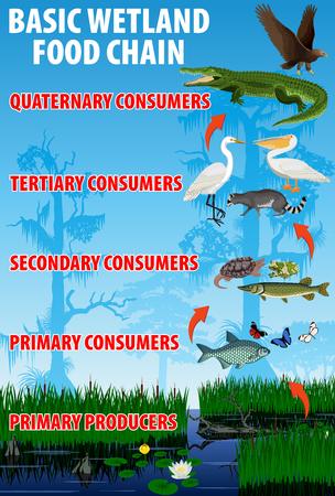 Chaîne trophique alimentaire des zones humides de base. Flux d'énergie de l'écosystème des Everglades des zones humides tropicales. Illustration vectorielle. Banque d'images - 79740649
