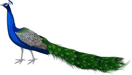 Vector male peacock peafowl Illustration