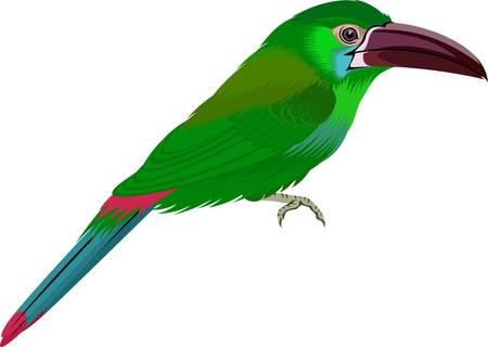 Crimson-rumped toucanet - Aulacorhynchus haematopygus