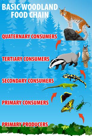 Basic woodland food chain.