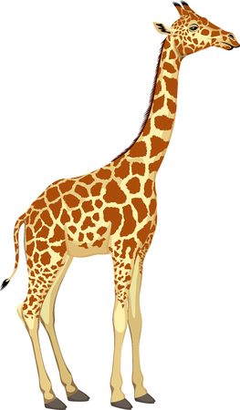 Vector giraffe isolated