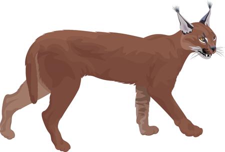 Vector caracal