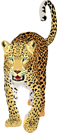 vector isolated leopard or jaguar Illustration