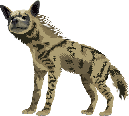 vector striped hyena Illustration