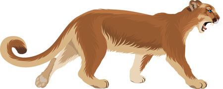 vector of a puma (Puma concolor) or mountain lion Illustration