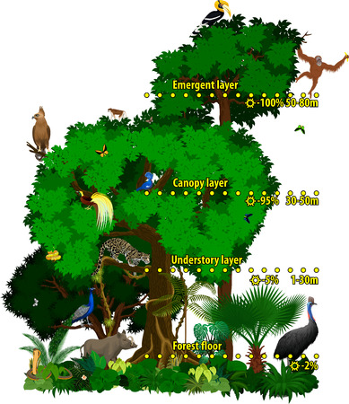 Rainforest indonesian jungle layers vector illustration. Vector Green Tropical Forest jungle with animals.