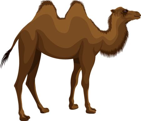 vector mongolian bactrian camel