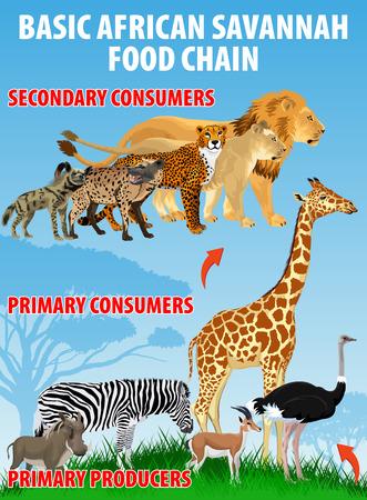 Basic african savannah food trophic chain. Grassland ecosystem energy flow. Vector illustration. Иллюстрация