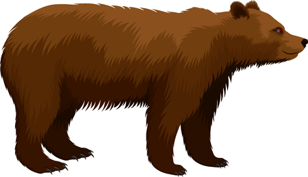 A vector brown grizzly bear isolated on plain background
